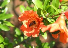 Free Bee In A Flower Royalty Free Stock Photos - 38138