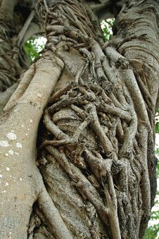 Free Strangler Fig Stock Photos - 38413