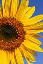 Free Summer Sunflower Stock Photos - 303033