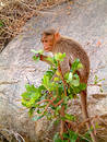 Free Monkey In Bush Royalty Free Stock Photography - 305797