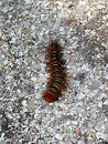 Free Florida Caterpillar Royalty Free Stock Photography - 309997