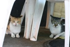 Free Twins Cat Stock Photography - 300382