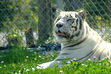Free White Tiger 4 Royalty Free Stock Photography - 300897