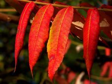 Free Red Autumn Leaves Royalty Free Stock Photos - 301708