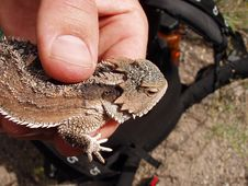 Free Horned Lizard Stock Images - 301744
