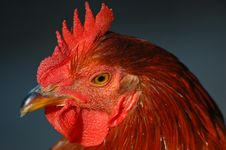 Free Portrait Of A Rooster Royalty Free Stock Photos - 301858