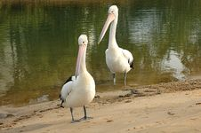 Free Two Pelicans Royalty Free Stock Images - 301969