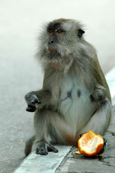 Free Monkey Holding Orange With Leg Royalty Free Stock Photos - 302008