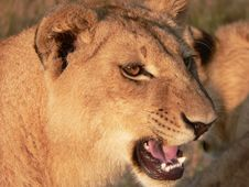 Free Lion S Face Stock Photo - 302350