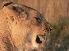 Free Lion S Head Side Profile Stock Photography - 302352