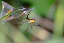 Yellow And Black Spider Royalty Free Stock Image