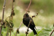 Free Black Bird On Twig Royalty Free Stock Image - 302816