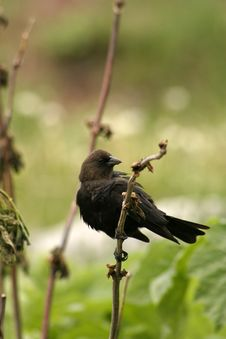 Free Small Black Bird Royalty Free Stock Photography - 302817