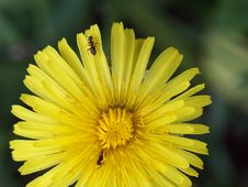 Free Dandelion And An Ant Stock Images - 302924