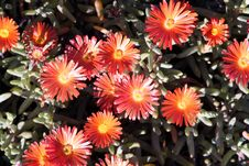 Free Orange Flowers Royalty Free Stock Photography - 303547