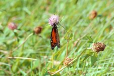 Monarch On Lavender Flower 2 Royalty Free Stock Photography