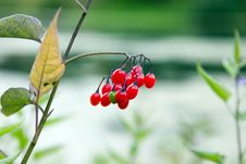Free Red Berry Royalty Free Stock Photography - 304367