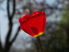Free Red Tulip Royalty Free Stock Photography - 304907