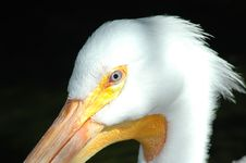 Free Pelican Head Stock Image - 305131