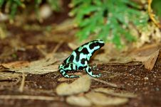 Free Green Dendrobate Stock Photo - 305150