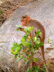 Free Monkey In Bush Royalty Free Stock Photography - 305797