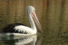 Free Pelican Stock Image - 306371