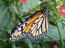 Monarch Royalty Free Stock Image