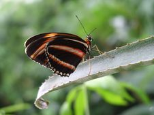 Free Butterfly-1 Royalty Free Stock Photography - 306447