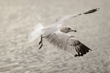 Free Landing Seagull Royalty Free Stock Images - 306839