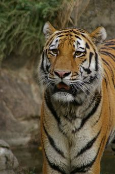 Free Tiger Staring Stock Photos - 306863
