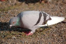Free Eating Pigeon Royalty Free Stock Photos - 307858