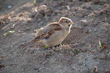 Free Sparrow Stock Photo - 307870