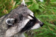 Free Raccoon Royalty Free Stock Photos - 308018