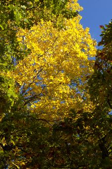 Autumn Gold Royalty Free Stock Image