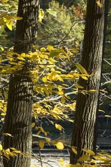 Free Autumn Yellow Leaves Royalty Free Stock Images - 308179