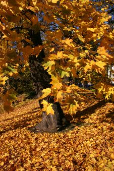 Golden Maple Tree Stock Photos