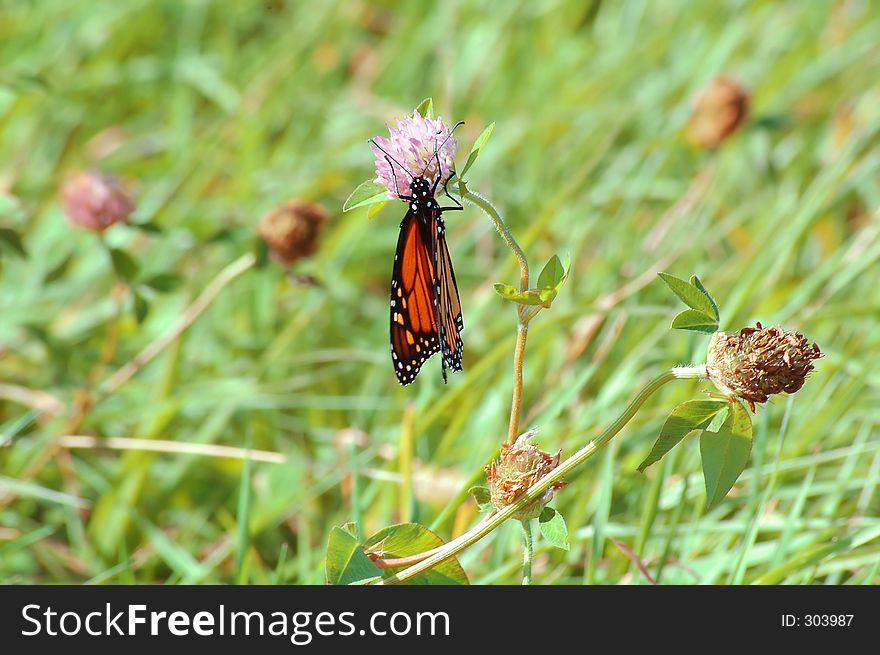 Monarch on lavender flower 2