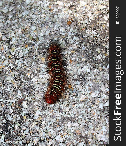 Florida Caterpillar