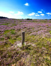 Free Blooming Heather Stock Photos - 3001613
