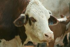Free Cow Royalty Free Stock Images - 3000509