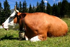 Free Cow Stock Images - 3000594