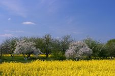 Blooming Orchard And Canola Fi Stock Images