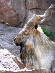Free Mountain Goat Stock Photo - 3000900