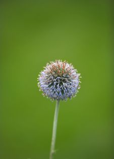 Free Ball Flower On Green Backgroun Royalty Free Stock Photo - 3001425