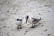 Baby Terns Royalty Free Stock Image