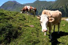 Free Cows Stock Photo - 3002840