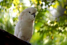 Free Moluccan Cockatoo Royalty Free Stock Image - 3003896