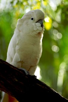 Free Moluccan Cockatoo Royalty Free Stock Photography - 3003927