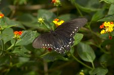 Free Black Butterfly With Spots Stock Image - 3004891