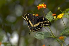 Black And Gold Butterfly Stock Images